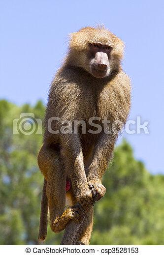 Baboon (Papio hamadryas ursinus) in a tree - csp3528153