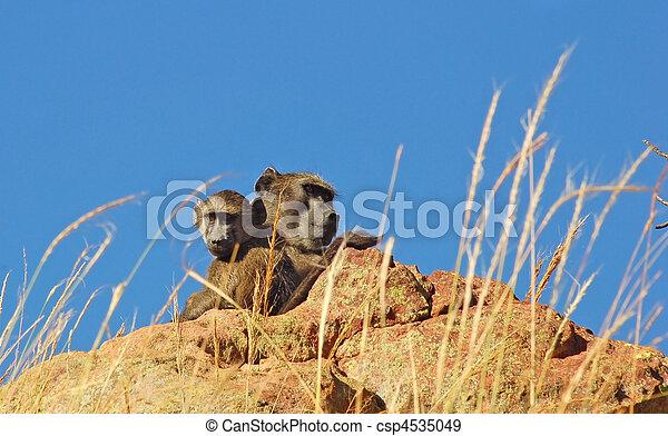 Baboon (Papio ursinus) - csp4535049