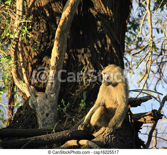 Baboon sat in a tree - csp16225517