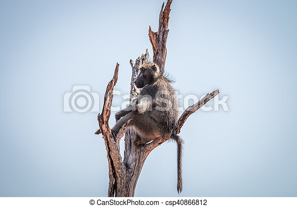 Baboon sitting in a dead tree. - csp40866812