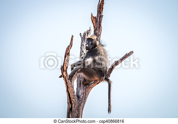 Baboon sitting in a dead tree. - csp40866816