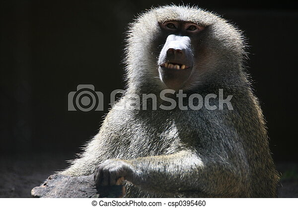 Baboon - csp0395460