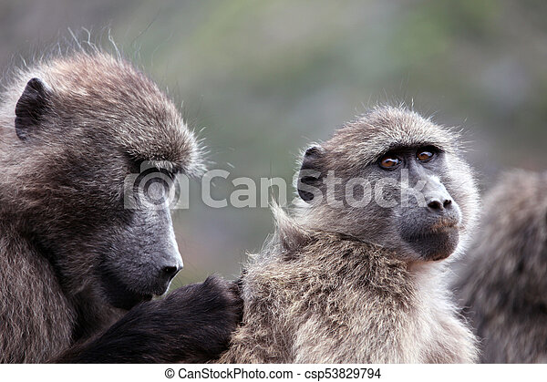 Baboons catch insects in wool