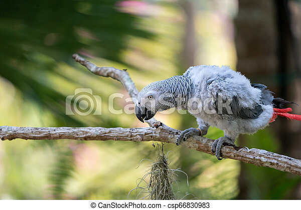 Baby African grey parrot with red tail hang on to the branch in the forest - csp66830983