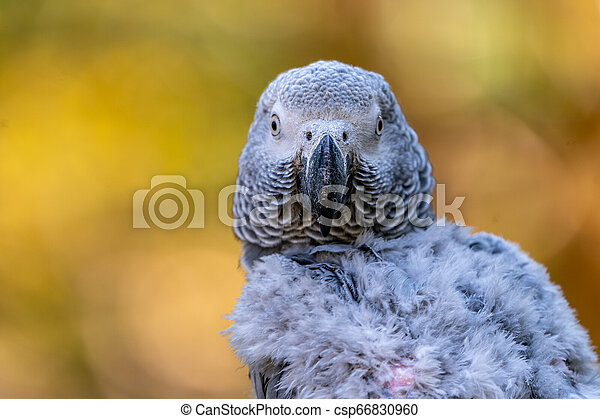 Baby African grey parrot with red tail hang on to the branch in the forest - csp66830960