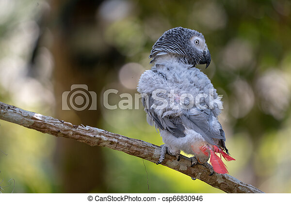 Baby African grey parrot with red tail hang on to the branch in the forest - csp66830946