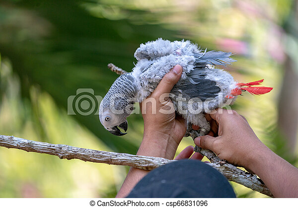 Baby African grey parrot with red tail hang on to the branch in the forest - csp66831096
