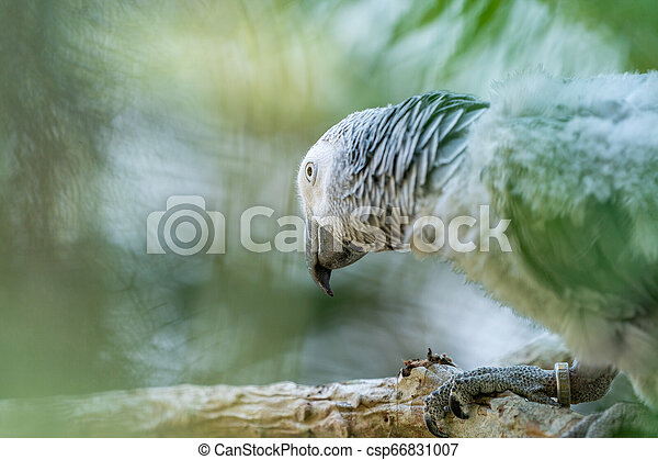 Baby African grey parrot with red tail hang on to the branch in the forest - csp66831007