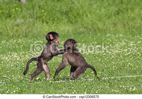 Baby baboons playing - csp12306575