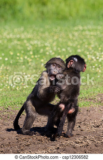 Baby baboons playing - csp12306582