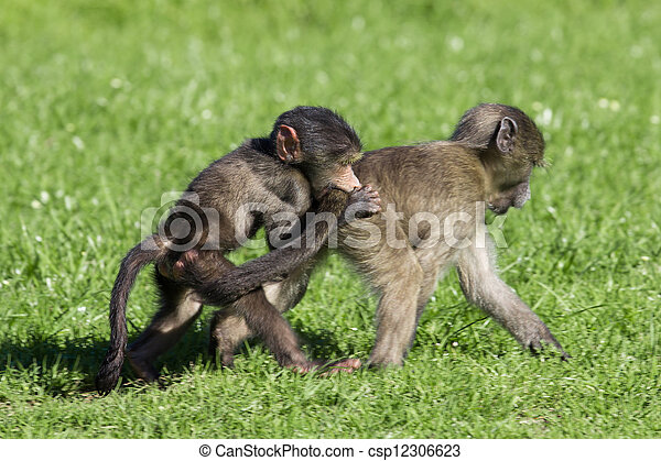 Baby baboons playing - csp12306623