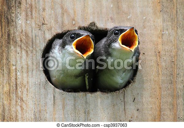 Baby Birds In a Bird House - csp3937063