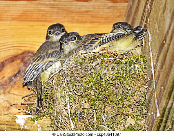 Baby Birds in Moss Nest - csp48641897
