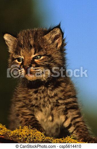 baby, bobcat - csp5614410