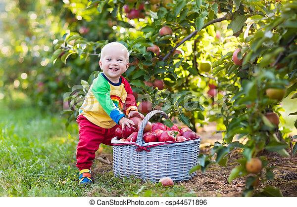 Baby boy picking apples in fruit garden - csp44571896