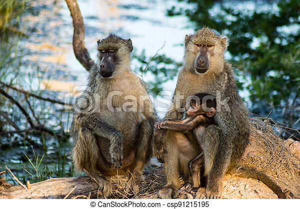 Baby chacma baboon (Papio ursinus) sits on its mother's - csp91215195