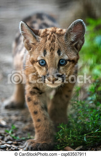 Baby cougar, mountain lion or puma - csp63507911