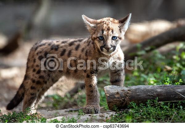 Baby cougar, mountain lion or puma - csp63743694