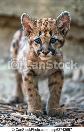 Baby cougar, mountain lion or puma - csp63743697