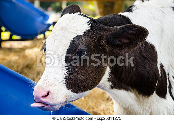 Baby cow drinking water - csp25811275