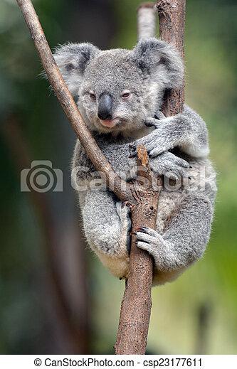 Baby Cube Koala - Joey - csp23177611