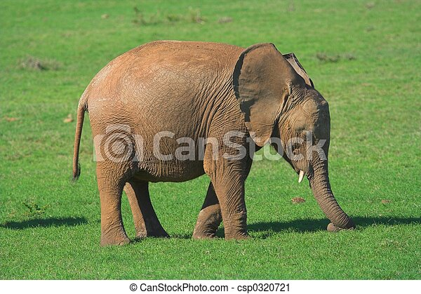 Baby Elephant - csp0320721