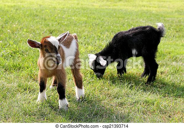 Baby Farm Goats Eating Grass - csp21393714