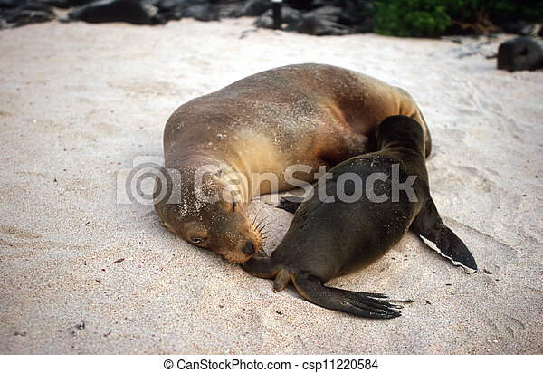 Baby Galapagos sea lion - csp11220584