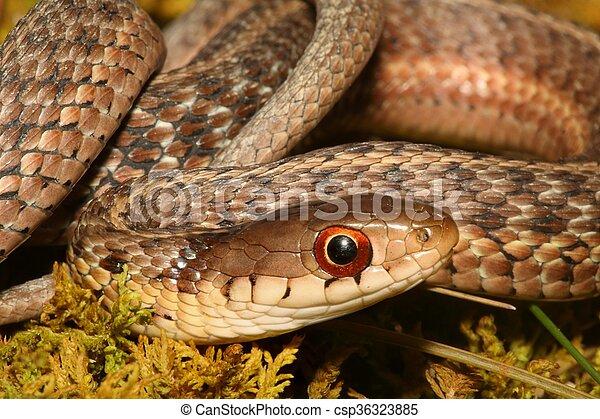 Baby Garter Snake (Thamnophis sirtalis) - csp36323885