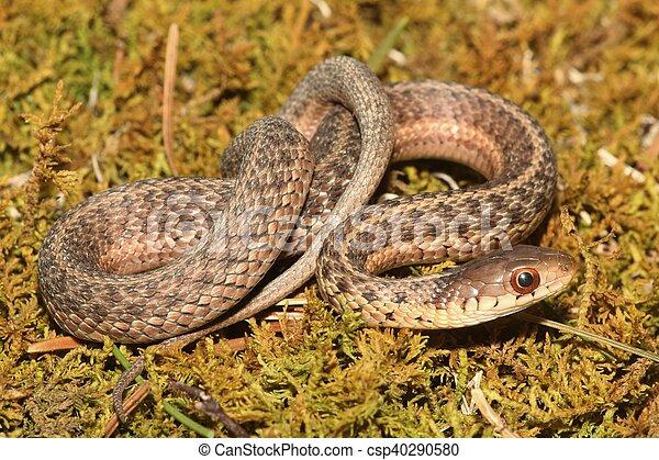 Baby Garter Snake (Thamnophis sirtalis) - csp40290580