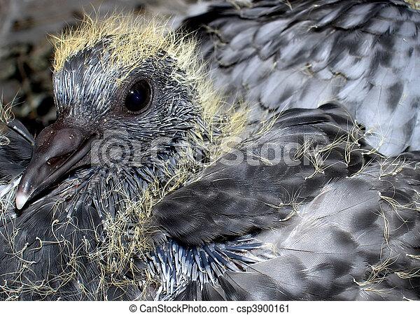 baby, grew, pigeon. - csp3900161