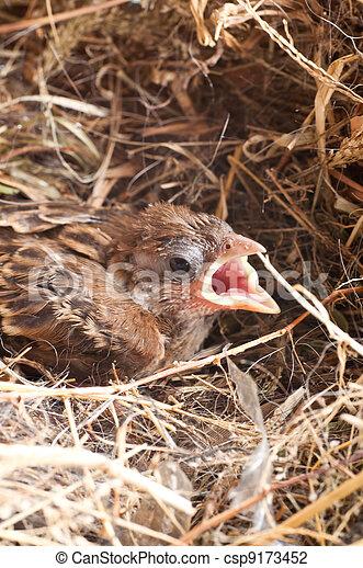 Baby house sparrow close up - csp9173452