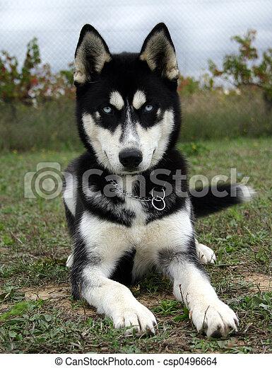 Baby Husky Puppy Purebreed Siberian Husky