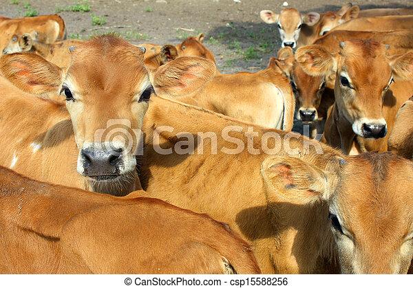 Baby Jersey Calves - csp15588256