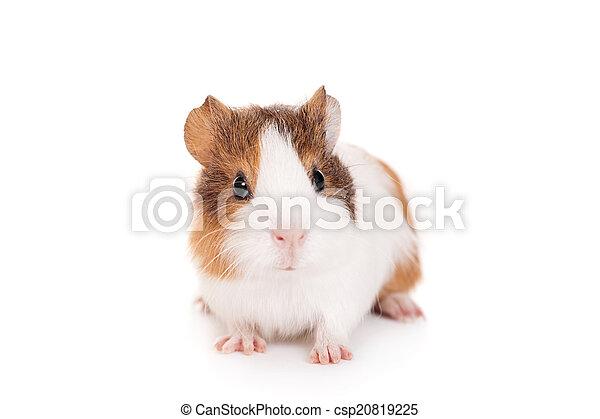 baby, meerschweinchen - csp20819225