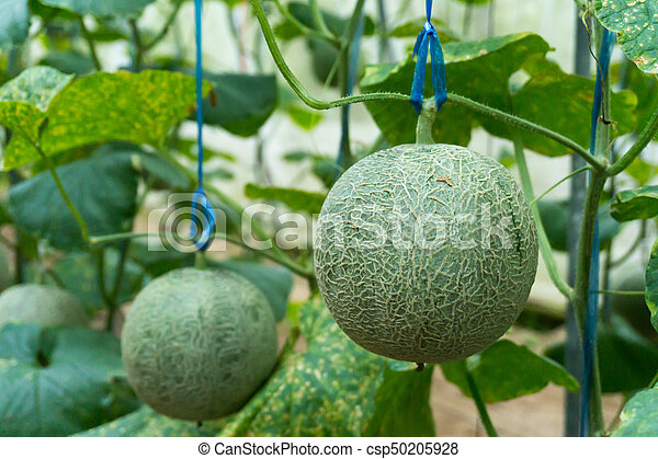 Baby Melon Rock Ball On The Tree On The Farm Canstock Cantaloupe is the perfect healthy summertime treat. https www canstockphoto com baby melon rock ball on the tree on the 50205928 html