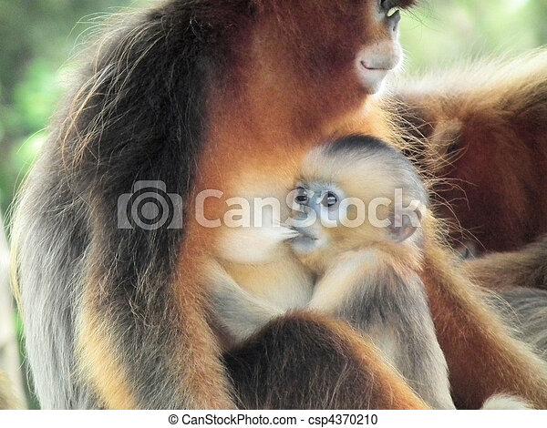 baby monkey sucking - csp4370210