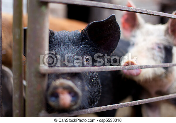 Baby pig in a pigsty - csp5530018