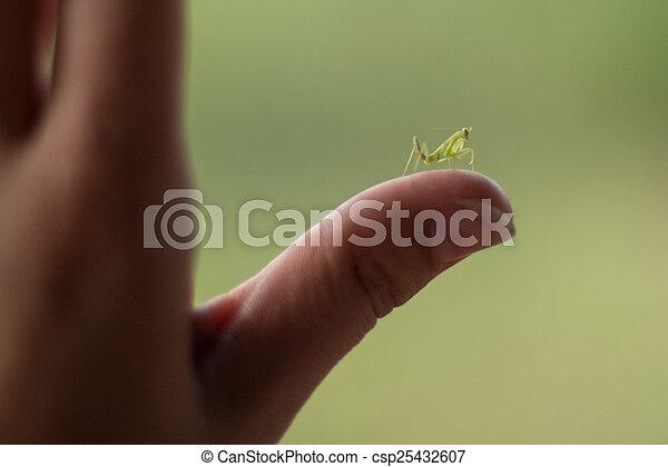 Baby Praying Mantis - csp25432607