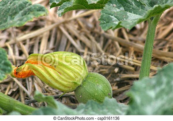 Baby Pumpkin - csp0161136
