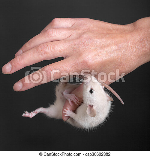 baby rat hanging on the thumb - csp30602382