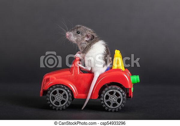baby rat on the toy car - csp54933296