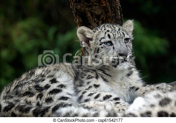 Baby snow leopard (Panthera uncia). Young snow leopard. - csp61542177
