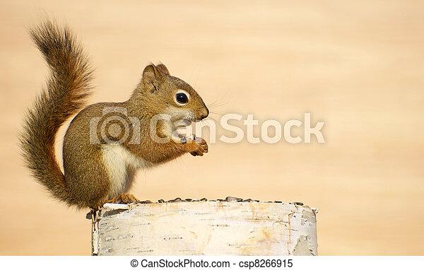 Baby squirrel. - csp8266915