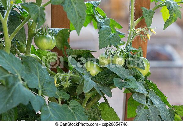 Baby Tomatoes - csp20854748