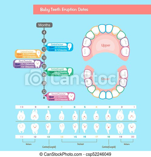 Baby Tooth Chart On The Blue Background Eps Vector  Search Clip Art