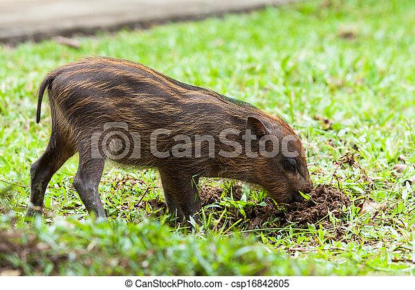 Baby wild boar digging grass - csp16842605