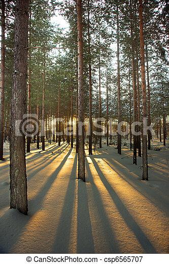 Back lit pine trees - csp6565707