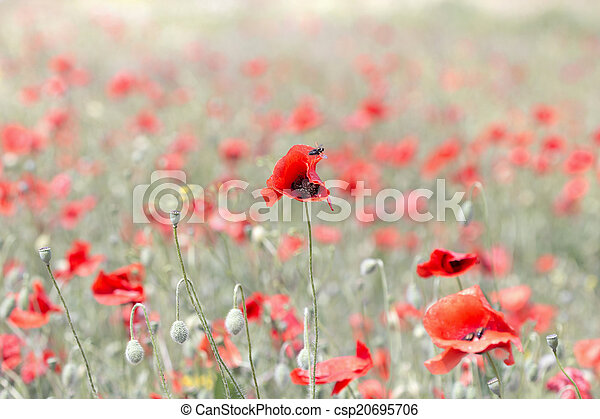 background blooming poppies - csp20695706