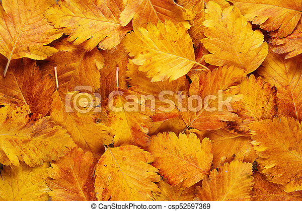 Background of autumn hawthorn leaves - csp52597369